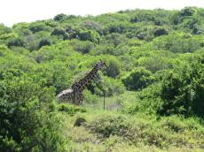 That's right, Gambit the Giraffe will be watching as you pass Mansfield Game Reserve!